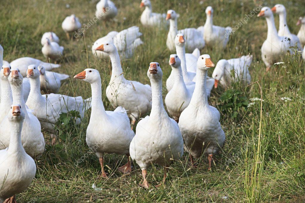 Белые гуси видео: знаменитый представитель рода гусей