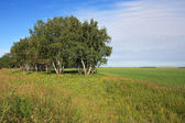Russian birch trees on the a green meadow. — Stock Photo