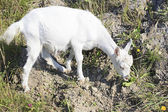 Domestic goat — Foto Stock