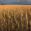 Field of ripe wheat. - Stock Photo