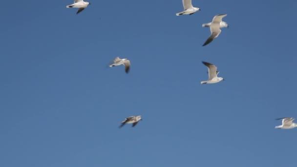Goélands (larus marinus) volent vers le ciel. — Vidéo
