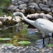 Stock Video: Average white Heron (Mesophoyx intermedia) in artificial pond.