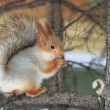Beautiful squirrel sits on a pine and eats a nut. — Stock Photo