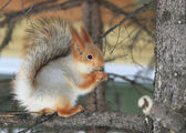 Beautiful squirrel sits on a pine and eats a nut. — Stock fotografie