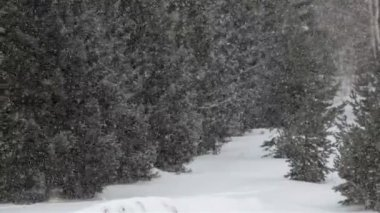 Snowfall amid the pines. — Stock Video