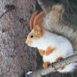 Beautiful squirrel sits on a pine tree. — Stock Photo #23596451