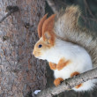 Beautiful squirrel sits on a pine tree. — Stock Photo