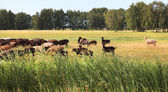 Flock of sheep grazes on a meadow. — Stock Photo