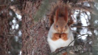 Eichhörnchen sitzt auf einer kiefer und isst eine nuss. — Stockvideo