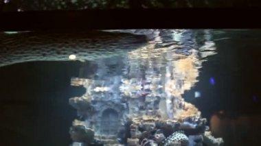 Black-spotted moray (Gymnothorax isingteena) in aquarium — Stock Video