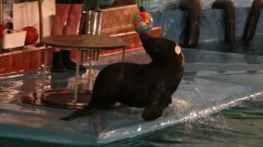 Fur Seal does tricks with the ball on his nose. — Vídeo de Stock