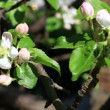 Apple tree in bloom in the garden. — Stock Video