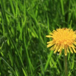 Yellow dandelion flowers in the grass. — Видео