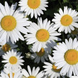 Chamomile. Beautiful flowers in garden. — Stock Photo #28316255