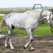 Beautiful Orlov stallion breed (Orlov Trotter). — Stock Photo