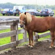 Altai horse breed shows language (compared to modern cars).  — Stock Photo