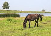 Horse grazes near a pond. — Stock Photo
