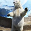 Polar bear standing on its hind legs. — Stock Photo #30946377