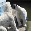 Two polar bears find out the relationship. — Foto de Stock