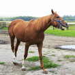 Beautiful horse chestnut stallion British breed (Thoroughbred). — Стоковая фотография