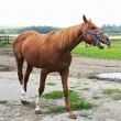 Beautiful horse chestnut stallion British breed (Thoroughbred). — Stock Photo