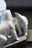 Two polar bears find out the relationship. — Stock Photo