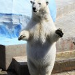 Polar bear standing on its hind legs. — Stock Photo #31137929