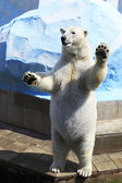Polar bear standing on its hind legs. — Stock Photo