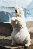 Funny polar bear sitting on its hind legs — Stock Photo
