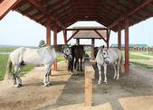 Konie na smyczy pod baldachimem. — Zdjęcie stockowe