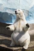 Polar bear sitting on its hind legs — Stock Photo