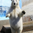 Polar bear standing on its hind legs. — Stock Photo #32162763