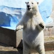 Polar bear standing on its hind legs. — Stock Photo #34919197