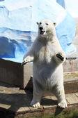 Polar bear standing on its hind legs. — Stock Photo