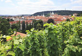 Vine on the hills in the center of Prague. — Stock Photo