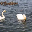 White Swan kills little duckling (struggle for food). — Stock Video