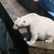 Polar bear begging for a treat. — Vídeo de stock