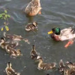 Duck with ducklings swimming in the pond and catch the bread crumbs. — Stock Video