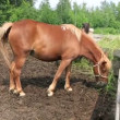 Altai horse breed in the aviary. — Stock Video