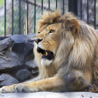 Stock Photo: Beautiful lion with open mouth in aviary.