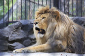 Beautiful lion with open mouth in the aviary. — Stock Photo