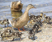Family of ducks walking along the shore of the pond. — Stock Photo