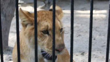 Liger yearling at the zoo. — Stock Video