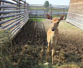 Beautiful little spotted fawn in the aviary. — Stock Photo
