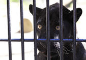 Black Panther looks wistfully out of the cage. — Stock Photo
