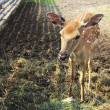 Stock Photo: Beautiful little spotted fawn in aviary.