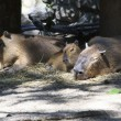Stock Photo: Family capybarsleep in aviary.