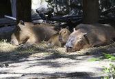 Family capybara sleep in the aviary. — Stock Photo
