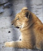Year-old liger in the aviary. — Stock Photo