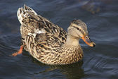 Beautiful duck swims in a pond. — Stock Photo